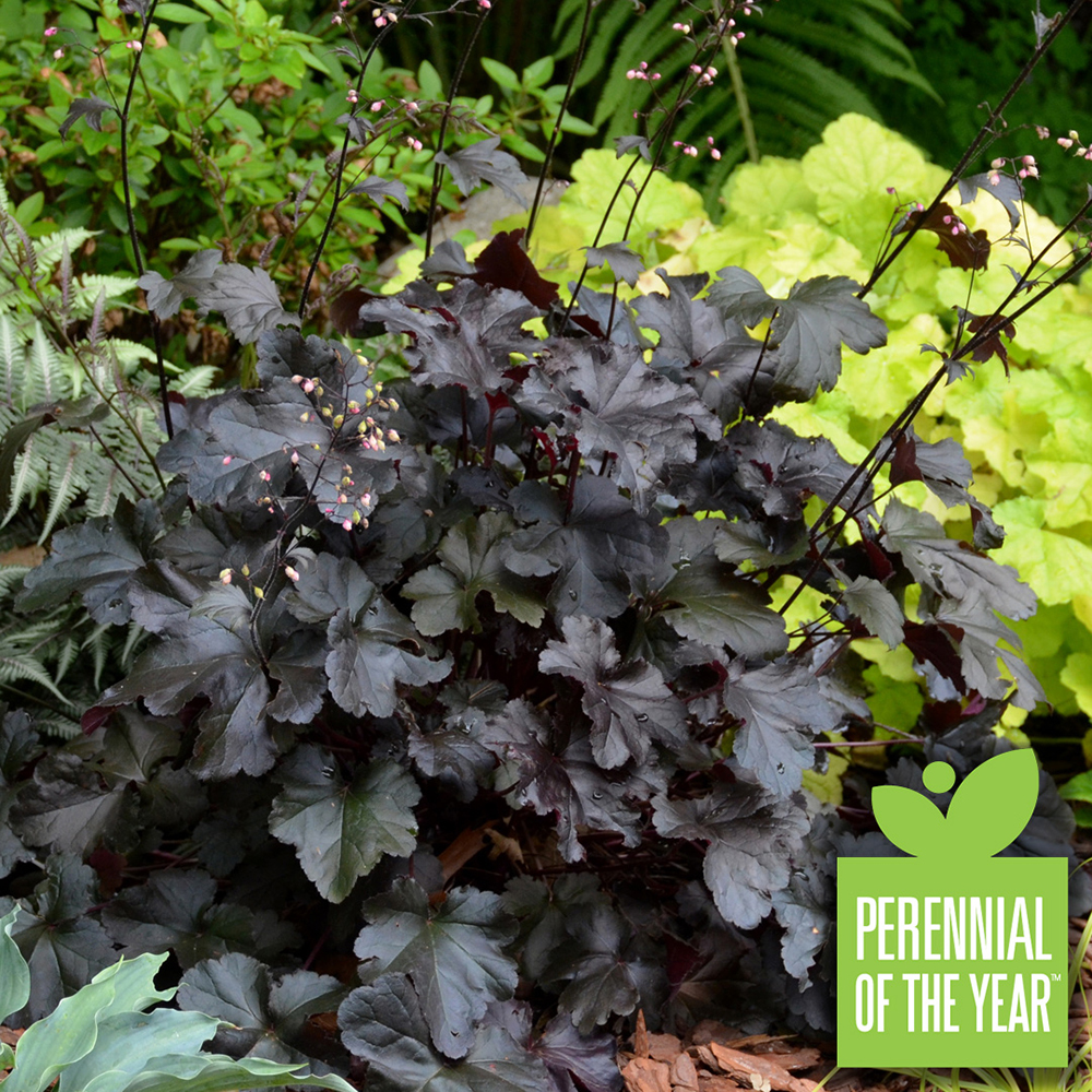 Perennial of the Year Black Pearl Facebook